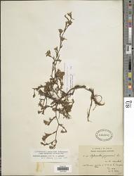 Stylosanthes guianensis (Aubl.) Sw.