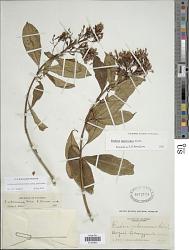 Fuchsia paniculata Lindl. subsp. paniculata