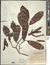 Shorea macroptera Dyer