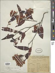 Ruprechtia salicifolia (Cham. & Schltdl.) C.A. Mey.