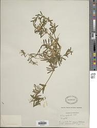 Vicia andicola Kunth
