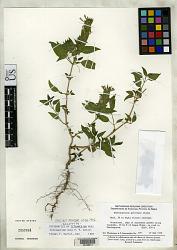 Tetramerium zeta T.F. Daniel