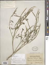 Cleome viscosa L.