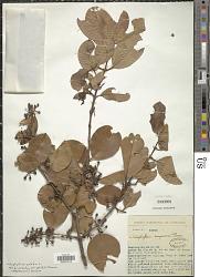 Calophyllum calaba var. bracteatum (Wight) P.F. Stevens