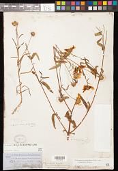 Heliomeris hispida (A. Gray) Cockerell