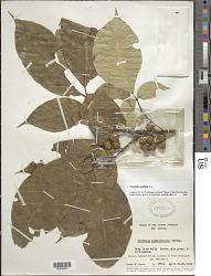 Trichilia pallida Sw.