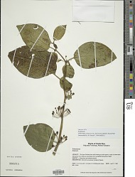Witheringia asterotricha (Standl.) Hunz.