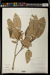Croton nobilis Baill.