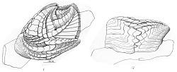 Verruca calotheca heterosoma