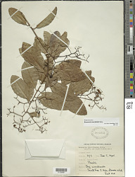 Bourreria succulenta Jacq.