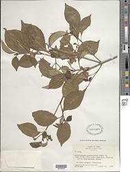 Calycophyllum candidissimum (Vahl) DC.