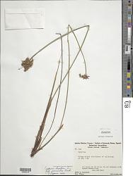 Cyperus haspan subsp. juncoides (Lam.) Kük.