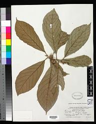 Ficus lepicarpa Blume