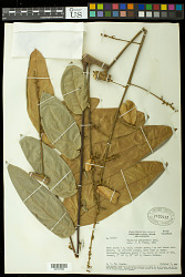 Toulicia guianensis Aubl.