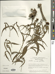 Ichthyothere terminalis (Spreng.) S.F. Blake