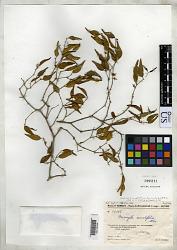 Memecylon auratifolium H. Perrier
