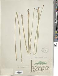 Eleocharis macrostachya Britton