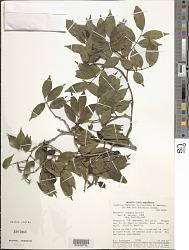 Swartzia oedipus Barneby