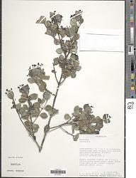 Psychotria sp.