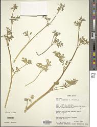 Apium inundatum (L.) Rchb. f.