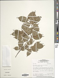 Micropholis venulosa (Mart. & Eichler ex Miq.) Pierre
