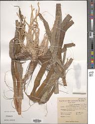 Enhalus acoroides (L. f.) Royle