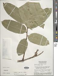 Dipteryx rosea Spruce ex Benth.