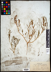 Monolepis nuttalliana (Schult.) Greene