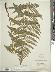 Dryopteris x slossoniae Wherry ex Lellinger