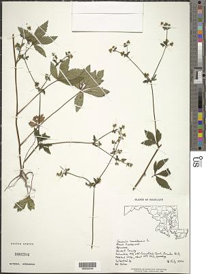 Sanicula canadensis L.