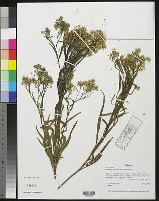 Baccharis salicifolia (Ruiz & Pav.) Pers.