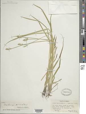 Carex laevivaginata (Kük.) Mack.