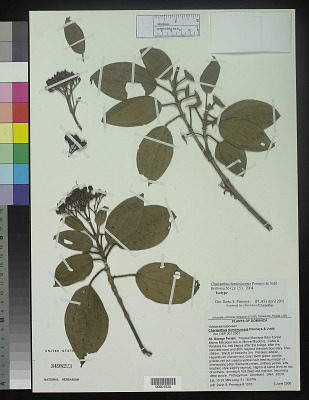 Charianthus dominicensis Penneys