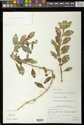 Columnea scandens L.