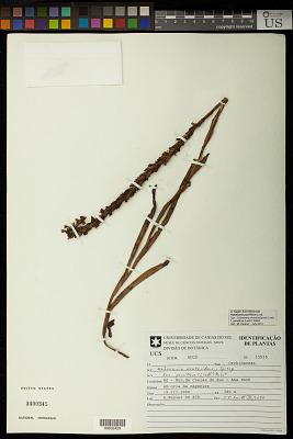 Habenaria parviflora Lindl.
