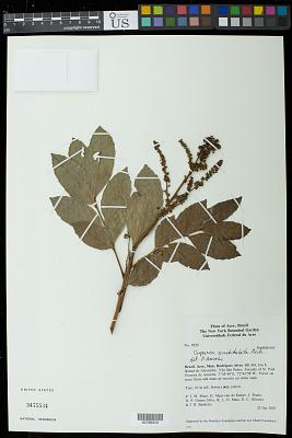 Cupania scrobiculata Rich.