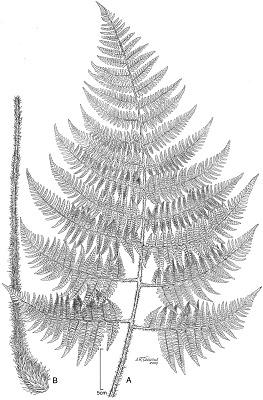 Dryopteris macropholis Lorence & W.L. Wagner