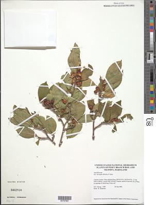 Ilex laevigata (Pursh) A. Gray