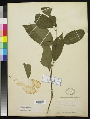 Whitfieldia sp.