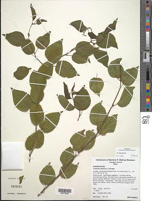 Colubrina asiatica (L.) Brongn.