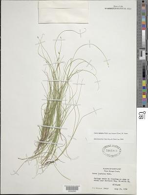 Carex leptalea var. harperi (Fernald) W. Stone