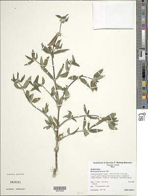 Mitracarpus hirtus (L.) DC.