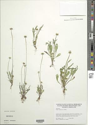Krigia virginica (L.) Willd.