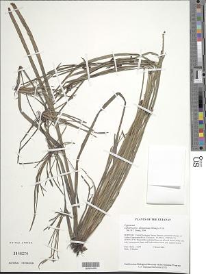 Calyptrocarya glomerulata (Brongn.) Urb.