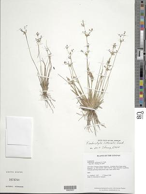 Fimbristylis miliacea (L.) Vahl