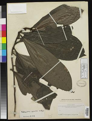 Delpydora gracilis A. Chev.