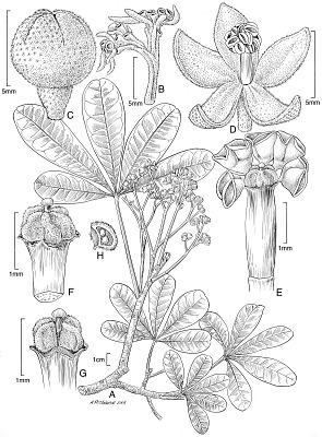 Sterculia cheekei Dorr