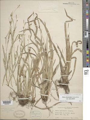 Carex laxiculmis var. copulata (L.H. Bailey) Fernald