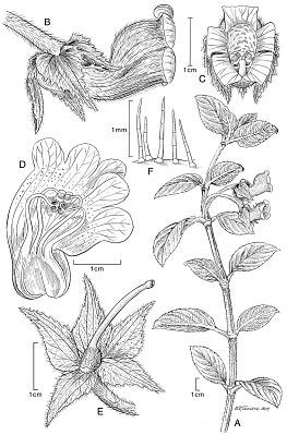 Glossoloma altescandens (Mansf.) J.L. Clark