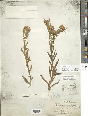 Rayjacksonia phyllocephala (DC.) R.L. Hartm. & M.A. Lane